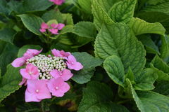 Bloeiende bloem in de tuin Royalty-vrije Stock Fotografie