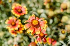 Bloeiende bloem met rode en gele bloemblaadjes op een achtergrond van a Stock Foto's