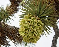 Bloeiende bloem op een Joshua-boom stock afbeeldingen