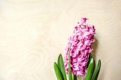 Bloeiende bloem roze hyacint op licht triplex royalty-vrije stock foto