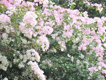 Bloeiende bloemboom Royalty-vrije Stock Afbeelding