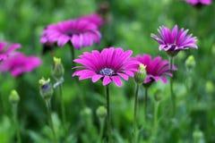 Bloeiende bloemen Stock Fotografie