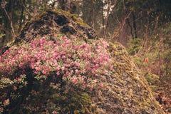 Bloeiende Bloemen op de rotsen in het bos in de bergenalp Royalty-vrije Stock Foto