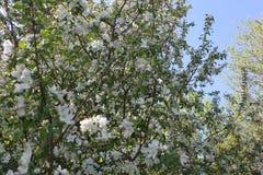 Bloeiende bloemen van Apple-boomgaard stock afbeeldingen