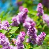 Bloeiende bloemen van lilac boom bij de lente Stock Foto's