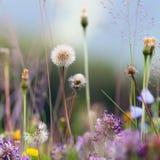Bloeiende bloemen van paardebloem Stock Afbeeldingen