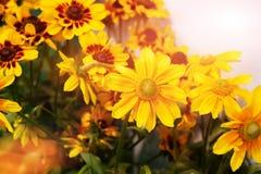 Bloeiende bloemen van Rudbeckia in dichte clusters Close-upboeket royalty-vrije stock foto