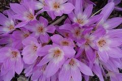Bloeiende Bloeiende Bloemenachtergrond Violet Purple Crocus And Green stock foto