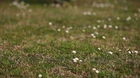 Bloeiende bloemenmadeliefjes stock footage