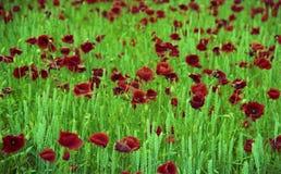 Bloeiende bloempapaver met groene bladeren, het leven natuurlijke aard stock foto's