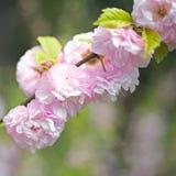 Bloeiende bomen in de lente Stock Afbeelding