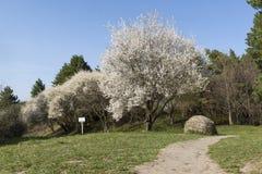 Bloeiende bomen in de lentepark, witte plaque, ronde kei, klopje Royalty-vrije Stock Afbeeldingen