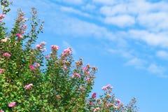 Bloeiende bomenbloemen en Blauwe Hemel Stock Fotografie