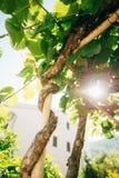 Bloeiende bomenkiwi De lente het bloeien wijnstokkenschoppen in Montenegro royalty-vrije stock fotografie