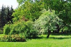 Bloeiende boom. Stock Foto