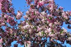 Bloeiende boom Stock Fotografie