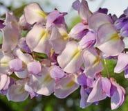 Bloeiende boom, Ahorn, - de lente Royalty-vrije Stock Fotografie