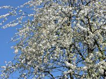 Bloeiende boom in de lente royalty-vrije stock fotografie