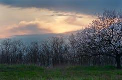 Bloeiende boom in de lente bij zonsondergang Royalty-vrije Stock Foto's