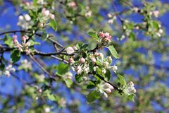 Bloeiende boom in de lente dicht omhoog stock foto's