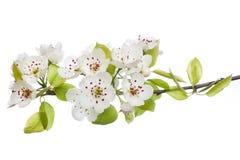 Bloeiende boom in de lente die op wit wordt geïsoleerdz Stock Afbeelding