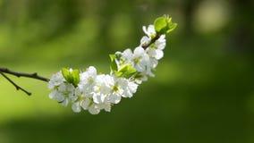 Bloeiende boom in de lente met witte bloemen stock footage