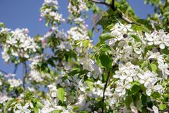 Bloeiende boom in de lentetuin tegen duidelijke blauwe hemel Bestuiving en nectarconcept Bloesemconcept stock foto