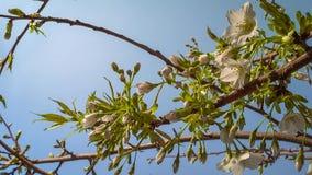 Bloeiende boom in de tuin op de blauwe hemelachtergrond De lente, sluit omhoog stock fotografie