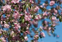 Bloeiende boom in de tuinclose-up Royalty-vrije Stock Afbeeldingen