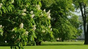 Bloeiende boom in het park stock videobeelden