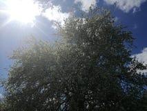 Bloeiende boom in het zonlicht Stock Foto