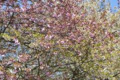Bloeiende boom met bladeren Stock Foto's