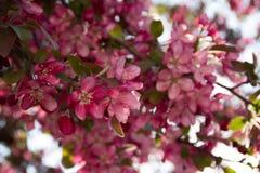 Bloeiende boom met roze bloemen Stock Foto's