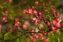 Bloeiende boom met roze bloemen in de lente de lente Zonnige dag Stock Foto
