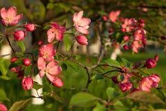 Bloeiende boom met roze bloemen in de lente de lente Zonnige dag Stock Afbeelding