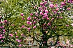 Bloeiende boom met roze bloemen in de lente, Londen, het Verenigd Koninkrijk Royalty-vrije Stock Foto