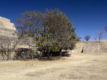 Bloeiende boom in monte-Alban, Mexico Stock Foto's