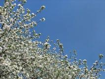 Bloeiende boom op blauwe hemelachtergrond, de lente Stock Foto's