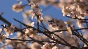 Bloeiende boom op de blauwe hemel stock videobeelden