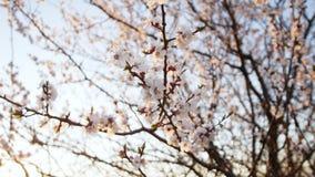 Bloeiende boom op zonsondergang Witte bloemen op een boom in het de lentepark De tuin van de lente stock video