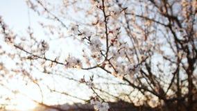 Bloeiende boom op zonsondergang Witte bloemen op een boom in het de lentepark De tuin van de lente stock footage