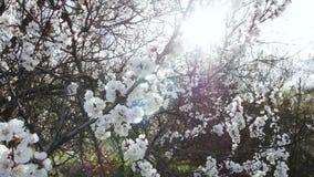 Bloeiende boom op zonsondergang Witte bloemen op een boom in het de lentepark De tuin van de lente stock videobeelden