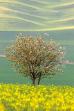 Bloeiende Boom over gele en groene gebieden - de abstracte lente Stock Foto's