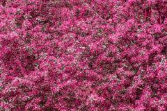 Bloeiende boom in roze Stock Afbeeldingen