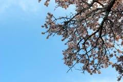 Bloeiende boom tegen de blauwe hemel, bodemmening stock foto