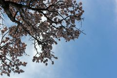 Bloeiende boom tegen de blauwe hemel, bodemmening stock afbeelding