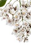 Bloeiende boom van Catalpa, lat Catalpaspeciosa, op wh wordt geïsoleerd die royalty-vrije stock afbeeldingen