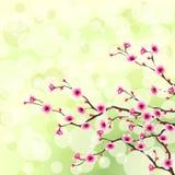 Bloeiende boomachtergrond. Omvat Transparantie Stock Fotografie