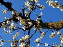 Bloeiende boomgaard Stock Foto's
