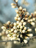 Bloeiende boomknoppen stock foto